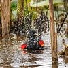 Maker:  Mike Smith<br /> Title:  Red Wing Takin a Bath<br /> Category:  Wildlife<br /> Score:  12