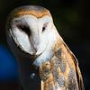 Maker:  Lee Davis<br /> Title:  Dreaming Barn Owl<br /> Category:  Pictorial<br /> Score:  11