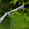 Maker:  Ronald Austin<br /> Title: Blue Heron on the wing<br /> Category: Wildlife<br /> Score:  13