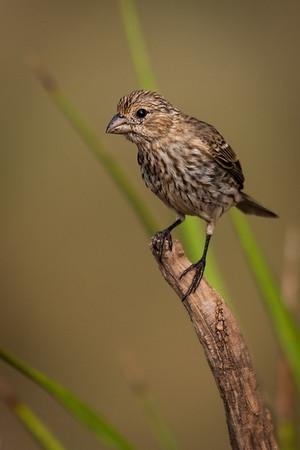 Maker:  Rickey Scroggins<br /> Title:  Female House Finch 2<br /> Category:  Wildlife<br /> Score:  12.5