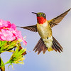 Maker:  Mike Smith<br /> Title:  Ruby Throat<br /> Category:  Wildlife<br /> Score:  13