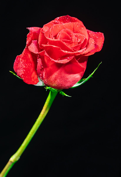 Maker:  Larry Phillips<br /> Title:  A Rose is a Rose<br /> Category:  Pictorial<br /> Score:  11