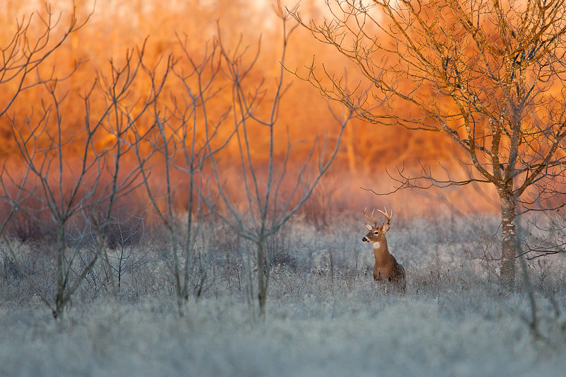 Maker:  Ronnie Maum<br /> Title:  Morning Glow Buck<br /> Category:  Wildlife<br /> Score:  14