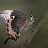 Maker:  Dale Lindenberg<br /> Title:  Butterfly<br /> Category:  Macro/Close Up<br /> Score:  15
