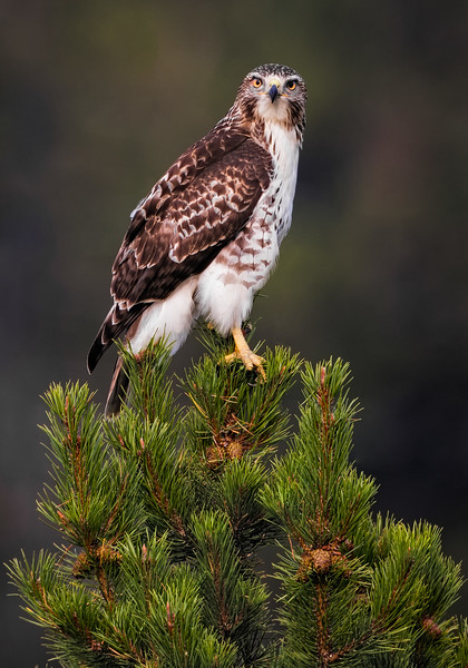 Maker:  Wayne Tabor<br /> Title:  Broadwing Hawk<br /> Category:  Wildlife<br /> Score:  15