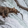 Maker:  Dale Robertson<br /> Title:  Leaping Up Brooks Fall<br /> Category:  Wildlife<br /> Score:  13