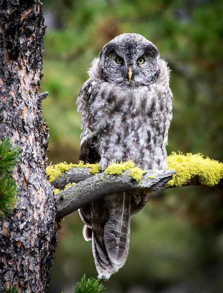 Maker:  Lee Davis<br /> Title:  Fledgling Grey on Golden Moss Perch<br /> Category:  Wildlife<br /> Score:  13