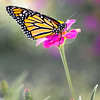 Maker:  Jeannie Varuso<br /> Title:  Monarch Butterfly on a Zinia<br /> Category:  Pictorial<br /> Score:  12.5