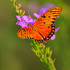 Maker:  Mike Smith<br /> Title:  Gulf Fritillary on Purple<br /> Category:  Macro/Close Up<br /> Score:  12
