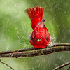 Maker:  Mike Smith<br /> Title:  Tanager in Rain<br /> Category:  Wildlife<br /> Score:  11.5
