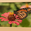 Maker:  Dale Robertson<br /> Title:  Monarch on Flower<br /> Category:  Pictorial<br /> Score:  12