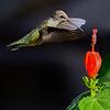 Maker:  Ronald Austin<br /> Title:  Hummingbird & Flower<br /> Category:  Wildlife<br /> Score:  12