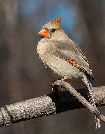 Maker:  Lee Davis<br /> Title:  Female Cardinal<br /> Category:  Wildlife<br /> Score:  12.5