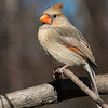 Maker:  Lee Davis<br /> Title:  Female Cardinal<br /> Category:  Wildlife<br /> Score:  12.5
