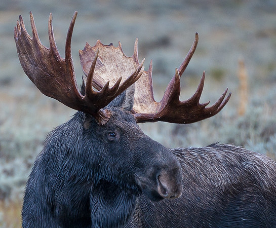 Maker:  Lee Davis<br /> Title:  Teton Moose<br /> Category:  Wildlife<br /> Score:  14