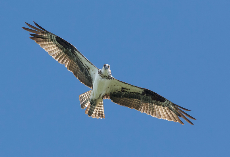 Maker:  Ronald Austin<br /> Title:  Watchful Osprey<br /> Category:  Wildlife<br /> Score:  12.5