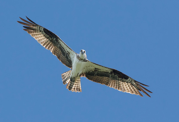 Maker:  Ronald Austin<br /> Title:  Watchful Osprey<br /> Category:  Wildlife<br /> Score:  12.5