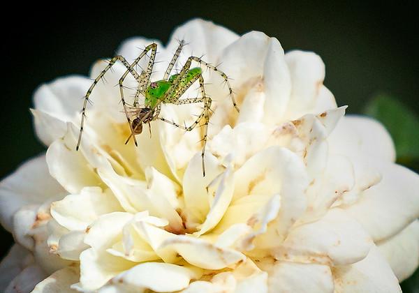 Maker:  Wayne Tabor<br /> Title:  Lynx Spider & Prey<br /> Category:  Macro/Close Up<br /> Score:  14