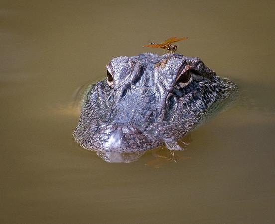 Maker:  Lee Davis<br /> Title:  Gator Rider<br /> Category:  Wildlife<br /> Score:  13.5