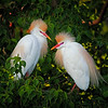 Maker:  Wayne Tabor<br /> Title:  Cattle Egrets in Mating Plumage<br /> Category:  Wildlife<br /> Score:  14