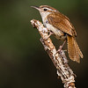 Maker:  Rickey Scroggins<br /> Title:  Carolina Wren<br /> Category:  Wildlife<br /> Score:  12.5