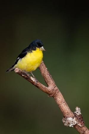 Maker: Rickey Scroggins<br /> Title:  Lesser Goldfinch<br /> Category:  Wildlife<br /> Score:  12