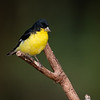 Maker: Rickey Scroggins<br /> Title:  Lesser Goldfinch<br /> Category:  Wildlife<br /> Score:  12