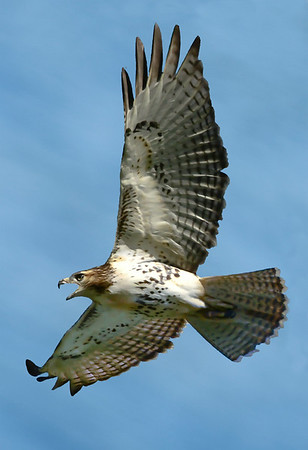 Maker:  Ronald Austin<br /> Title:  Soaring Red-tail Hawk<br /> Category:  Wildlife<br /> Score:  13.5