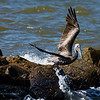 Maker:  Ronald Austin<br /> Title:  Pelican on the Rocks<br /> Category:  Wildlife<br /> Score:  12