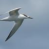 Maker:  Ronald Austin<br /> Title:  Seagull in Flight<br /> Category:  Wildlife<br /> Score:  12