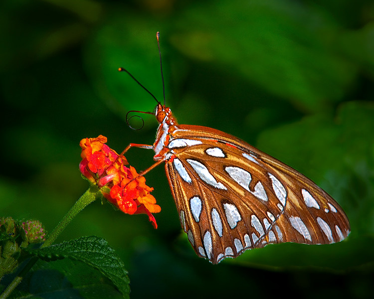 Maker:  Wayne Tabor<br /> Title:  Gulf Fritillary<br /> Category:  Macro/Close Up<br /> Score:  14