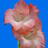 Maker:  Ronald Austin<br /> Title:  Pink Gladiolus<br /> Category:  Macro/Close Up<br /> Score:  14
