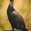 Maker:  Wayne Tabor<br /> Title:  Blue Eyed Cormorant<br /> Category:  Wildlife<br /> Score:  14