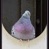 Maker:  Sandra J Nantais<br /> Title:  Perplexed Purple Pigeon<br /> Category:  Pictorial<br /> Score: 11