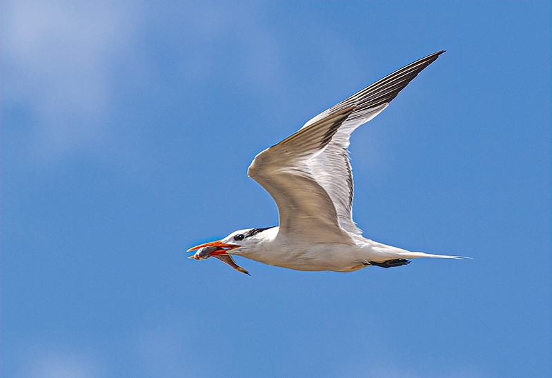 Maker:  Dale Lindenberg<br /> Title:  Tern with Fish<br /> Category:  Wildlife<br /> Score:  14