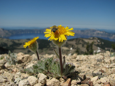 Hulsea nana on Mount Scot, Crater Lake NP, entry to NRV photographic competition 2009