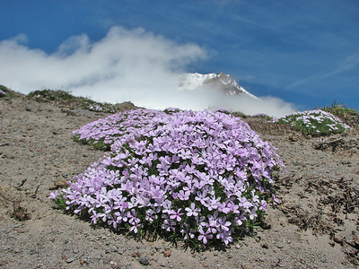 Phlox diffusa (Mountaineer Trail, Mount Hood, Oregon)