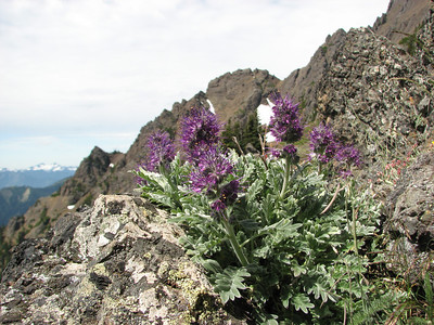 Phacelia sericea (Klahane Ridge from Switchback Trail, Olympic Mountains)