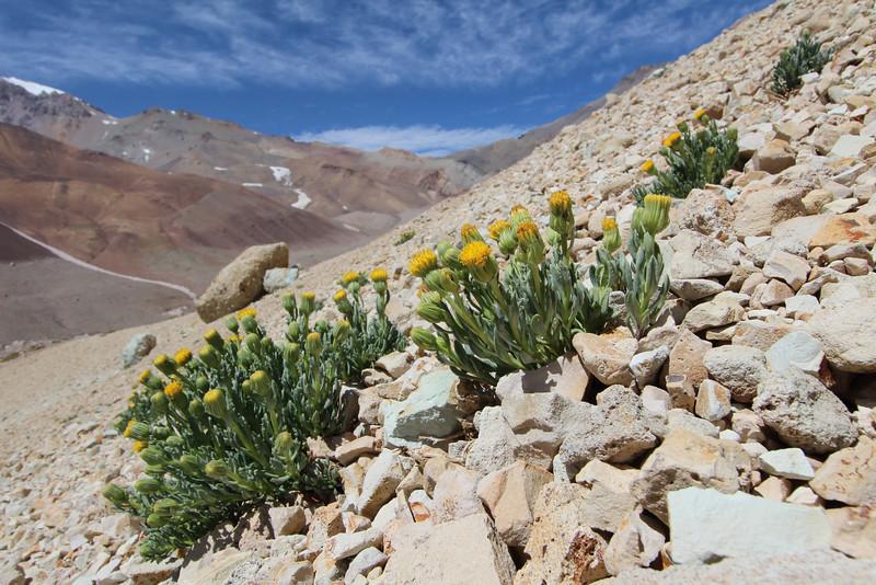 "Senecio aff. crithmoides, Parque Provincial Domuyo, Neuquen, Argentina - SECOND PLACE IN CLASS 4: ""Natural scene with plants"""
