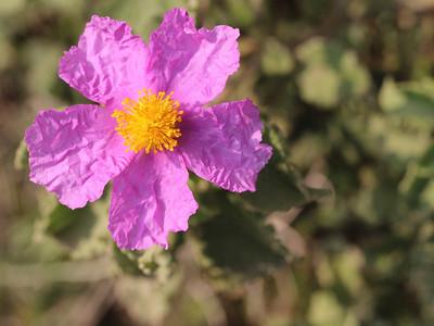 Cistrus creticus, syn. Cistus incanus ssp. creticus