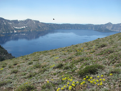Eriogonum ovalifolium? (Cloudcap, Crater Lake National Park, Oregon)