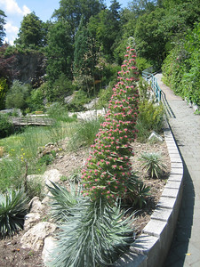 Echium wildpretii (Klagenfurt Botanical Garden)
