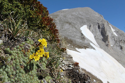Saxifraga ferdinandi-coburgi (left), Vihren (2914 m a.s.l.) in the background