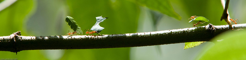 <h2>Leaf Cutters</h2><h3>Tabacon, Costa Rica</h3> We were staying at the <i>Lost Iguana Inn</i> and went for a walk in the nearby jungle.  We came across several lines of these ants.  This was the only one that we found crawling across a branch. <h2>Honorable Mention</h2> Orange County Fair 2008