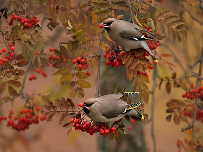 #35 'Waxwings' by jebir. 10/21/07. E-510.
