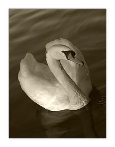 #25 'Mute Swan (Sepia)' by Blayne. 10/15/07.  Olympus E-1.