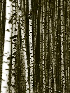 #8 'Birches' by Mick_Finn. 10/06/07. Olympus E-330. Sigma 150mm macro. f2.8, 1/320sec, ISO200, duotone in Photoshop.