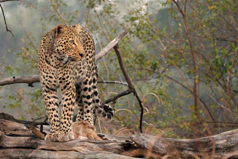 Wild leopard guarding lunch