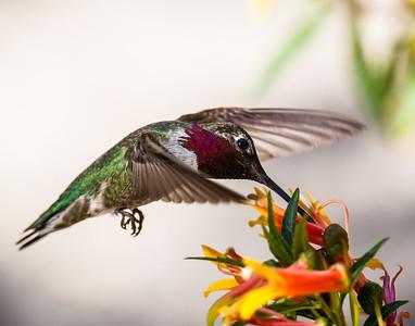 Tucson Hummingbird