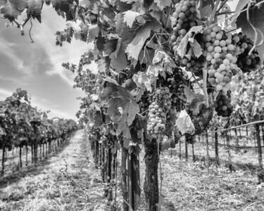 Mazzocco Vineyards, Sonoma
